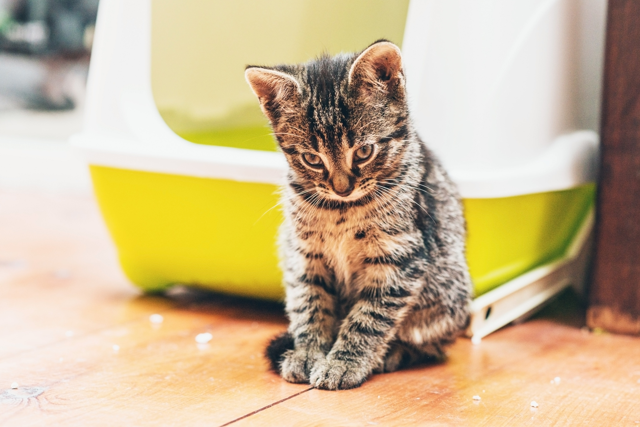 Wie man einer Katze beibringt, das Katzenklo zu benutzen